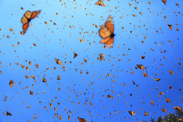 butterlfy monarch